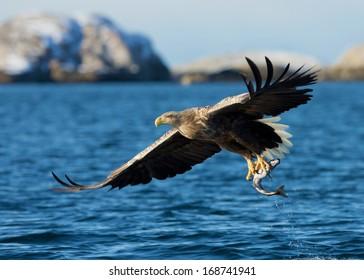 White-tailed sea Eagle (Haliaeetus albicilla), catching a fish, Norway.
