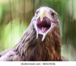 White-tailed sea eagle (Haliaeetus albicilla) or gray sea eagle or Erne eagle close view in hokkaido,japan
