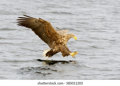 White-tailed Sea Eagle (Haliaeetus albicilla) catching fish. Norway