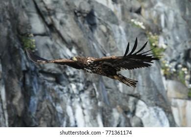 White-tailed sea Eagle (Haliaeetus albicilla) Norway.