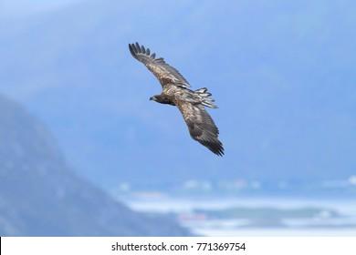 White-tailed sea Eagle (Haliaeetus albicilla) Norway