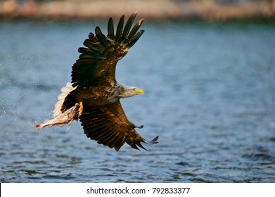 White-tailed Sea Eagle (Haliaeetus albicilla), Norway