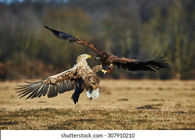 White-tailed sea eagles are fighting for prey