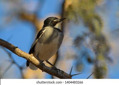 White-tailed Shrike - Lanioturdus torquatus, beautiful black and white perching bird from African bushes, Etosha National Park, Namibia.