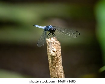 A white-tailed skimmer, Orthetrum albistylum, resting on the end of a wooden stick near a small Japanese wetland.