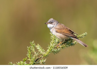 A Whitethroat bird, Sylvia communis, singing to attract a female during breeding season in Springtime