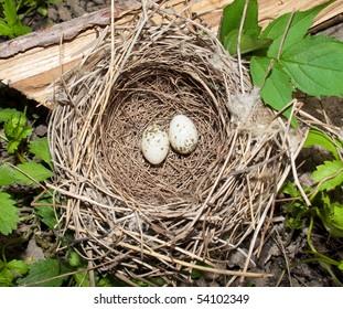 whitethroat ( Sylvia curruca ) nest with eggs