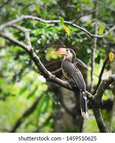 White-throated Brown Hornbill, uncommon bird, perched on big branch in deep jungle at Khaoyai national park, Thailand. Wild animal in natural habitat of Asian tropical rainforest, nature background.