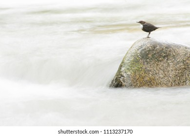 White-throated deeper in a rough waters river. Slow shutter speed shot  to create a silk-like water effect.