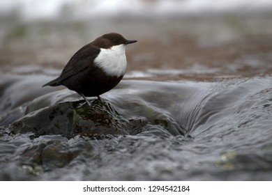 White-throated Dipper in brook the Oude Diep in Hoogeveen, the Netherlands