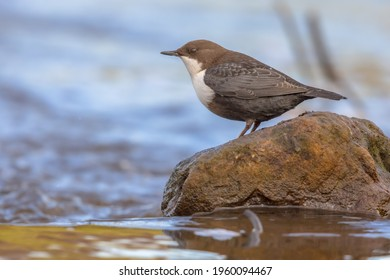 White-throated dipper (cinclus cinclus) aquatic bird foraging in fast flowing water of a creek in natural habitat. The dipper is searching for food below the water level. Wildlife scene in nature.