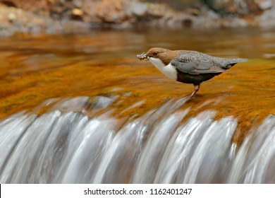 White-throated Dipper, Cinclus cinclus, brown bird with white throat in the river, waterfall in the background, animal behavior in the nature habitat, with food in the bill, nesting time, Germany.