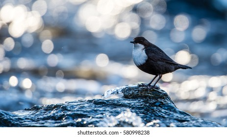 The White-throated Dipper (Cinclus cinclus) or just Dipper, is an aquatic passerine bird hunting on a ice-glazed rock in the stream with a nice bokeh