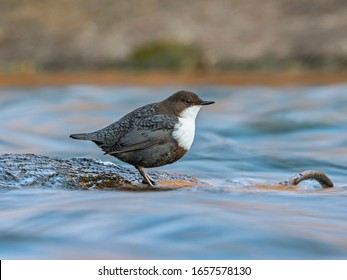 The white-throated dipper (Cinclus cinclus), also known as the European dipper or just dipper, is an aquatic passerine bird found in Europe.