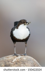 White-throated Dipper looking for food/White-throated Dipper
