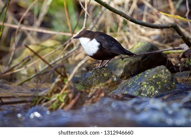 White-throated Dipper in the Old Deep in Oude Kene, the Netherlands
