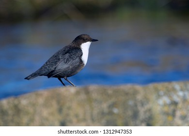 White-throated Dipper on the banks of the Oude Diep in Oude Kene, the Netherlands