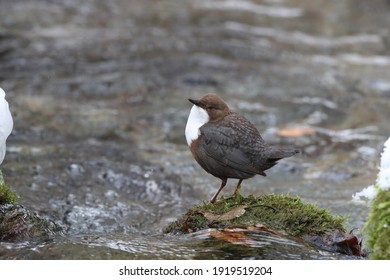 white-throated dipper in the winter germany