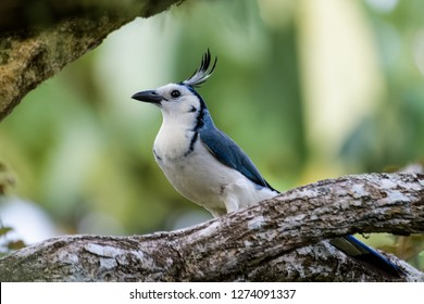 White-throated magpie jay in a tree in the Carara National Park in Costa Rica