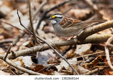 White-throated Sparrow berched on a dead branch amongst the leaf litter. Colonel Samuel Smith Park, Toronto, Ontario, Canada.