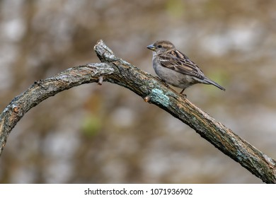 White-throated Sparrow perched on a branch