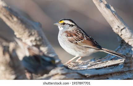 White-throated sparrow perched on a log