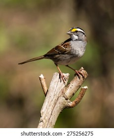 White-Throated Sparrow perched on a tree branch