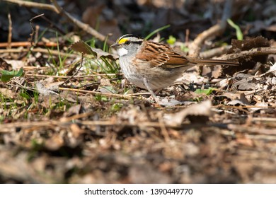 White-throated Sparrow standing on the ground in the leaf litter. Ashbridges Bay Park, Toronto, Ontario, Canada.