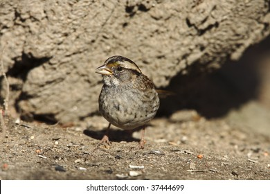 White-throated Sparrow (Zonotrichia albicollis) on ground