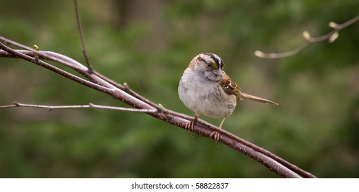 A white-throated sparrow - Zonotrichia albicollisis - is perched on branch in midday light. Quebec, Canada.