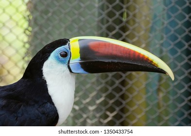 White-throated toucan, also known as Tucano-de-papo-branco in Brazil. Zoo animal.