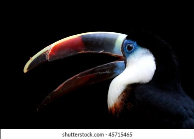 White-throated Toucan portrait isolated over black background