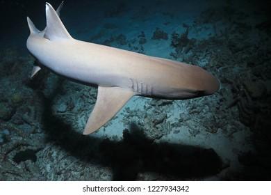 Whitetip reef shark (Triaenodon obesus) hunting in the night underwater in the Great Barrier Reef of Australia