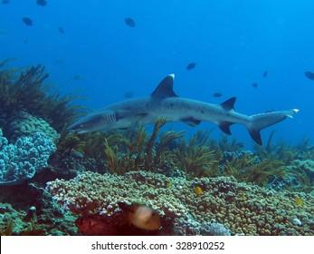 Whitetip reef shark (Triaenodon obesus) swimming over coral reef