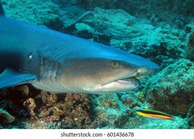 Whitetip Reef Shark (Triaenodon obesus). Coiba, Panama