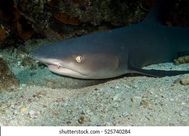 Whitetip Shark in Cocos Island Costa Rica