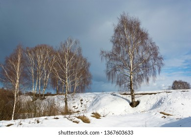 White-trunched birch trees on a snowy slope against the background of a cloudy sky in a spring March day.