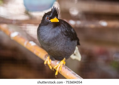 White-vented myna (Acridotheres javanicus), black crested bird perched on a tree branch