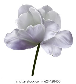 White-violet flower tulip on white isolated background with clipping path. Close-up.  no shadows. Shot of White Colored. Nature.