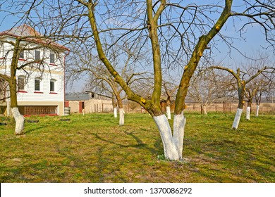 The whitewashed fruit trees in a garden on the seasonal dacha. Spring