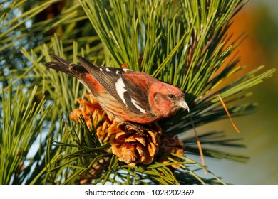 A White-winged Crossbill feeding on a pine cone