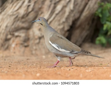 White-winged Dove in Southern Texas