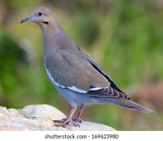 White-winged Dove (Zenaida asiatica) perched on a rock in the Texas Hill Country