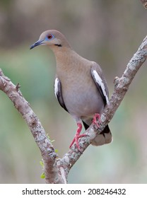 White-winged Dove (Zenaida asiatica) perched in a tree in South Texas.