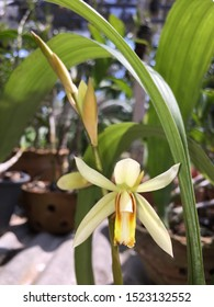 The white-yellow flowers of the Coelogyne trinervis Lindl orchid.
