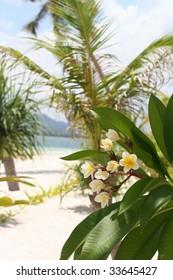 White-yellow frangipani flower on the beach