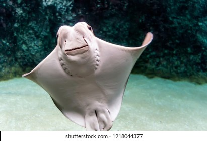 Whitish belly of Cownose ray (Rhinoptera bonasus) with its broad head, wide-set eyes and set of dental plates. Cownose rays have barb at the tail and weak venom to defend from the threat.