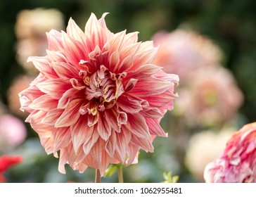 Whitish Pink Dahlia blooming flower