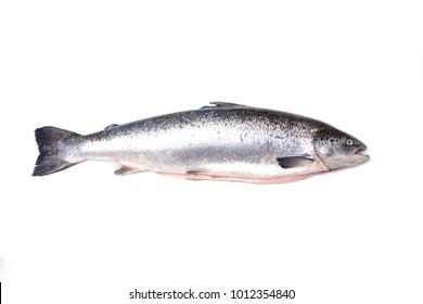 Whole Atlantic salmon fish isolated ona white studio background.