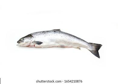 Whole Atlantic Salmon fish isolated on a white studio background.